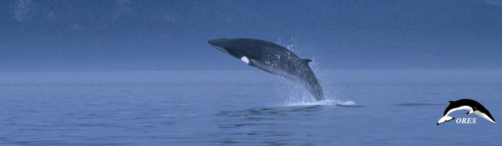 images/phocagallery/headers_ALL/01_home_header_minke whale_019_ba_brch-001_no name_a991301_ores-ut_r54fr05.jpg